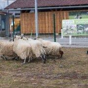 Außenbereich auf der Agrarmesse mit Schafen